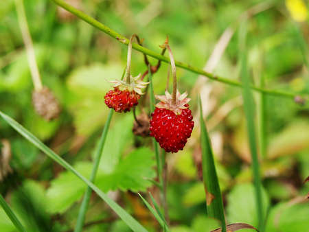 Two wild strawberries growing in the grass