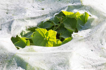 Plastic mulch and cucumber leaves Stock Photo - 22960927