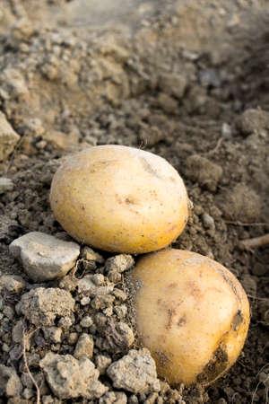 field depth: potatoes in a field - shallow depth of field Stock Photo