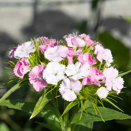 william: sweet william, flowers growing in the garden, selective focus