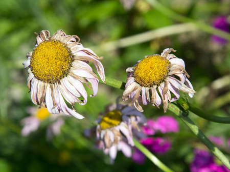 sear and yellow leaf: withered daisies in the garden