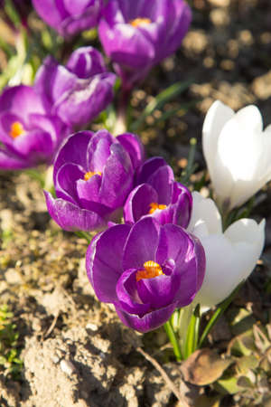 depth of field: spring crocus flowers - shallow depth of field
