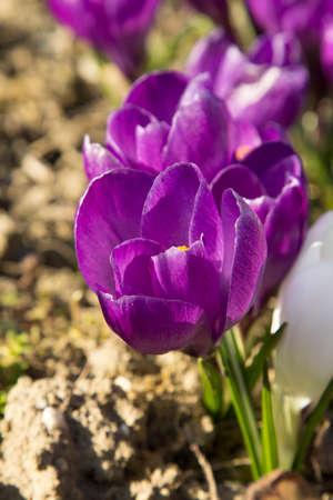 tiefe: Frühlingskrokusses Blumen - seichte Tiefe des Feldes