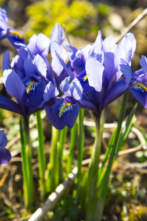 spring flower: Spring iris flowers - shallow depth of field Stock Photo