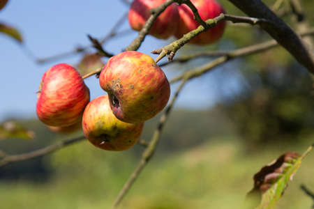 uneatable: Organic ugly apples growing on a tree