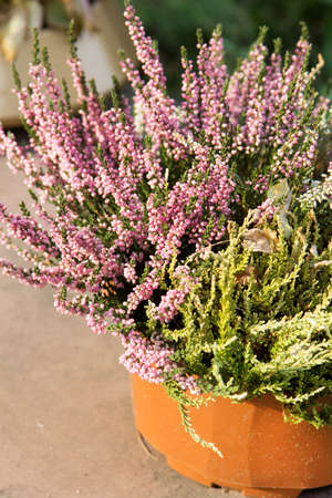 autumn colour: Heather flowers - shalow depth of field