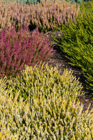 beautiful colorful heather growing in the garden