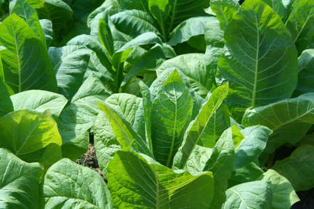 tobacco plants: Green tobacco plants leafes at a sunny early-summer day