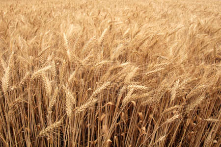 cereal plant: The shore of the huge wheat field in summer