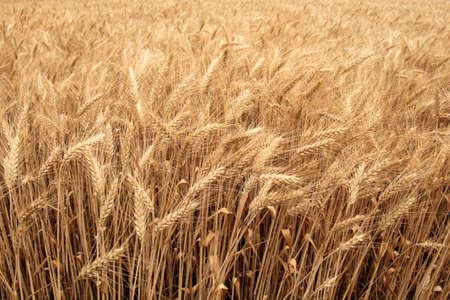 grain fields: The shore of the huge wheat field in summer
