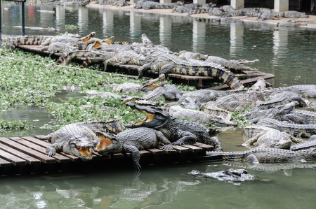 Crocodiles photo