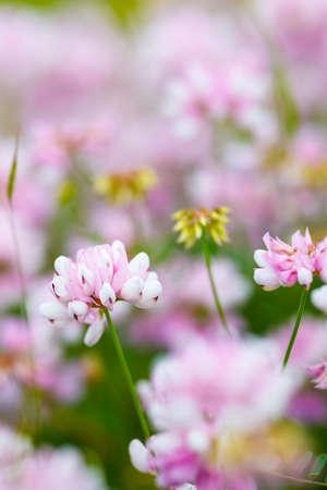 Field of clover flowers