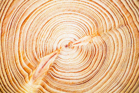 Wood texture year-old rings background, Cedar Lebanese 版權商用圖片