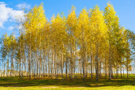autumn golden birch tree yellow forest background Stock Photo