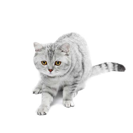 British Shorthair cat gray striped chinchilla isolated on white. Stock Photo