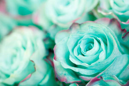 Close-up of azure blue turquoise pastel rose. Floral background Stock Photo
