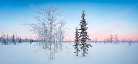 Winter snowy tundra panorama with spruce hoarfrost red and blue tone dawn