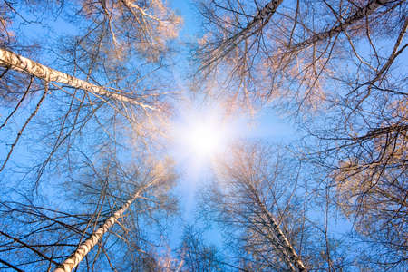 scenic view of very big and tall tree in the forest in the morning with sun beam. -looking up. Stockfoto