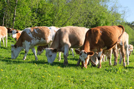 Limousin beef cattle in a country field grazing grass