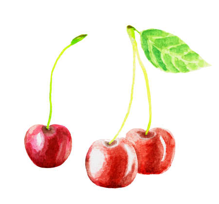 Cherry watercolor hand draw  illustration. Cherry fruit branch, cherries watercolor isolated on white background.