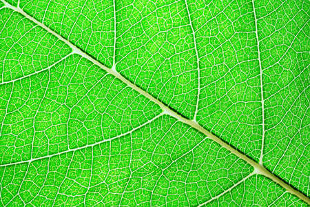 Green leaves background. Leaf of a plant close up. Pattern of growing leaf surface