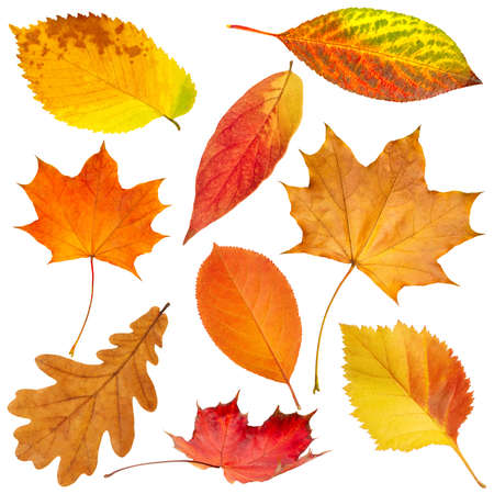 Collection of beautiful colorful autumn leaves isolated on white background Foto de archivo