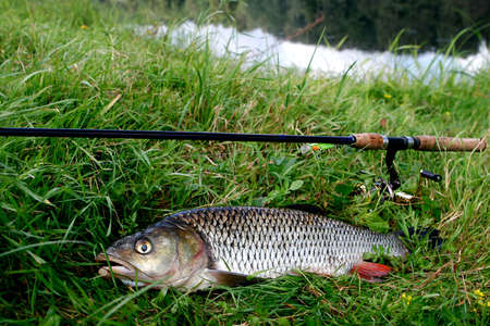 Fish chub on the grass with a spinning near the river, outdoor recreation concept Imagens