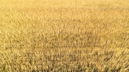 Aerial view of yellow wheat agricultural crops field, top view, drone photo