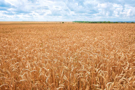 Wheat field. Ears of golden wheat. Background of ripening ears of wheat field. Rich harvest Concept. Imagens