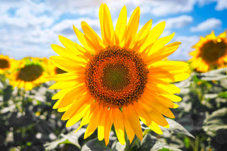 Sunflower natural background. Sunflower blooming. Close-up of sunflower. Imagens
