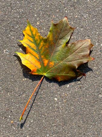 autumn maple leaves close-up on asphalt road