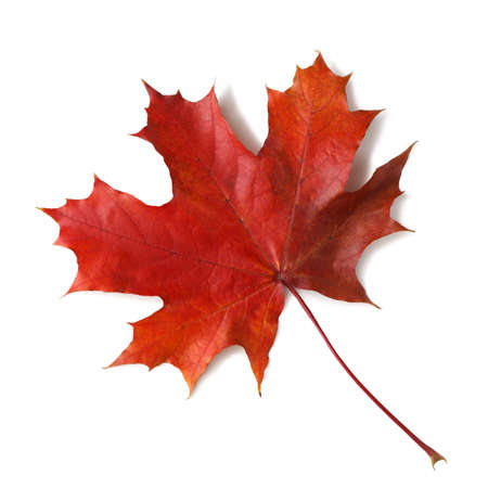 Autumn maple leaf isolated on white background with shadows, for isolation without shadows on white