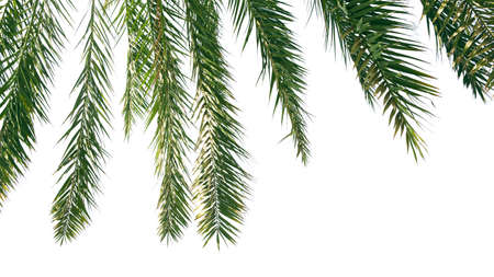 Green leaves of palm tree isolated on white background 免版税图像