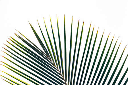 Green leaves of palm tree branches isolated on white background. Vacation or travel holiday concept. 免版税图像
