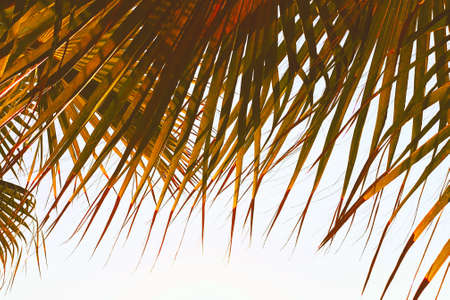 Leaves of palm tree branches isolated on white background. Vacation or travel holiday concept. 免版税图像