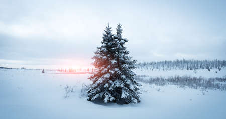 Scenic image of spruces tree. Frosty day, calm wintry scene.