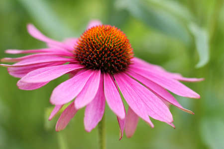 Purple Echinacea flower   cone flower   photo