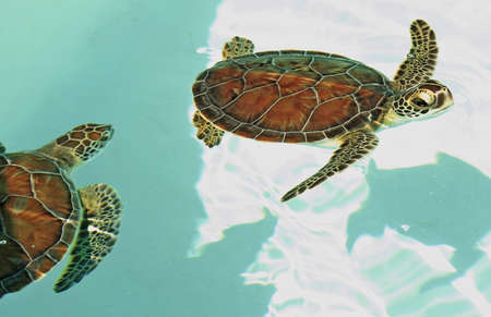 Small endangered sea turtles photo