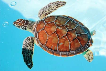 青緑色の水で絶滅危惧種のウミガメ