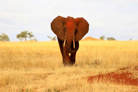 Red elephant front view in Tsavo park, Kenya