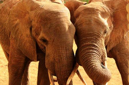 africa kiss: Elephants love in Africa