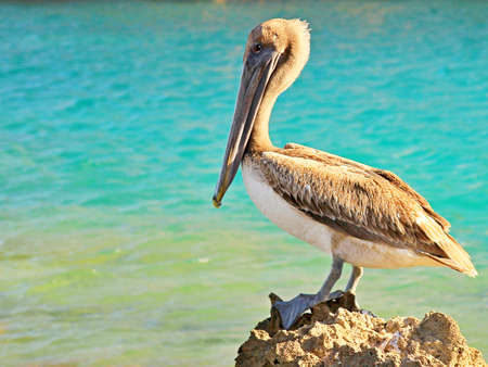 Majestic pelican resting on a rock in Xcaret water park, Mexico photo