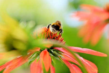 gadfly: Closeup of Echinacea purpurea flower with a working gadfly