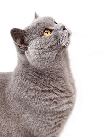 Portrait of a grey british cat isolated on white background Foto de archivo