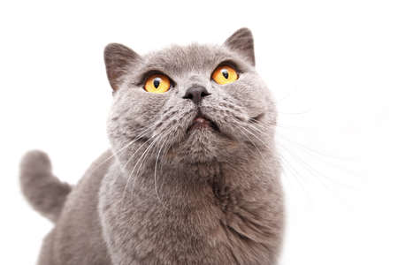 Portrait of a grey british cat isolated on white background photo
