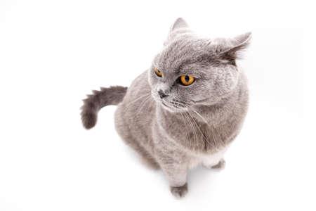 captivating: Frightened grey british cat isolated on white background Stock Photo