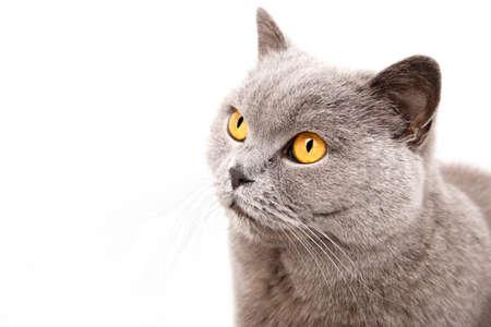 captivating: Portrait of a grey british cat isolated on white background Stock Photo