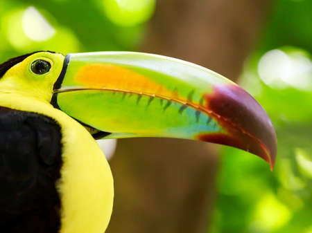 Portrait of colorful Keel-billed Toucan bird in Mexico photo