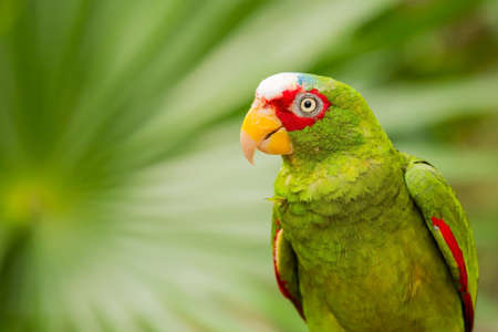 Portrait of colorful White-fronted Parrot in Mexico photo