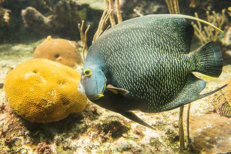 Closeup of beautiful French Angelfish in Caribbean sea photo